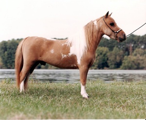 Sun Valley Miniature Horses | 1445 Pleasant Grove Rd